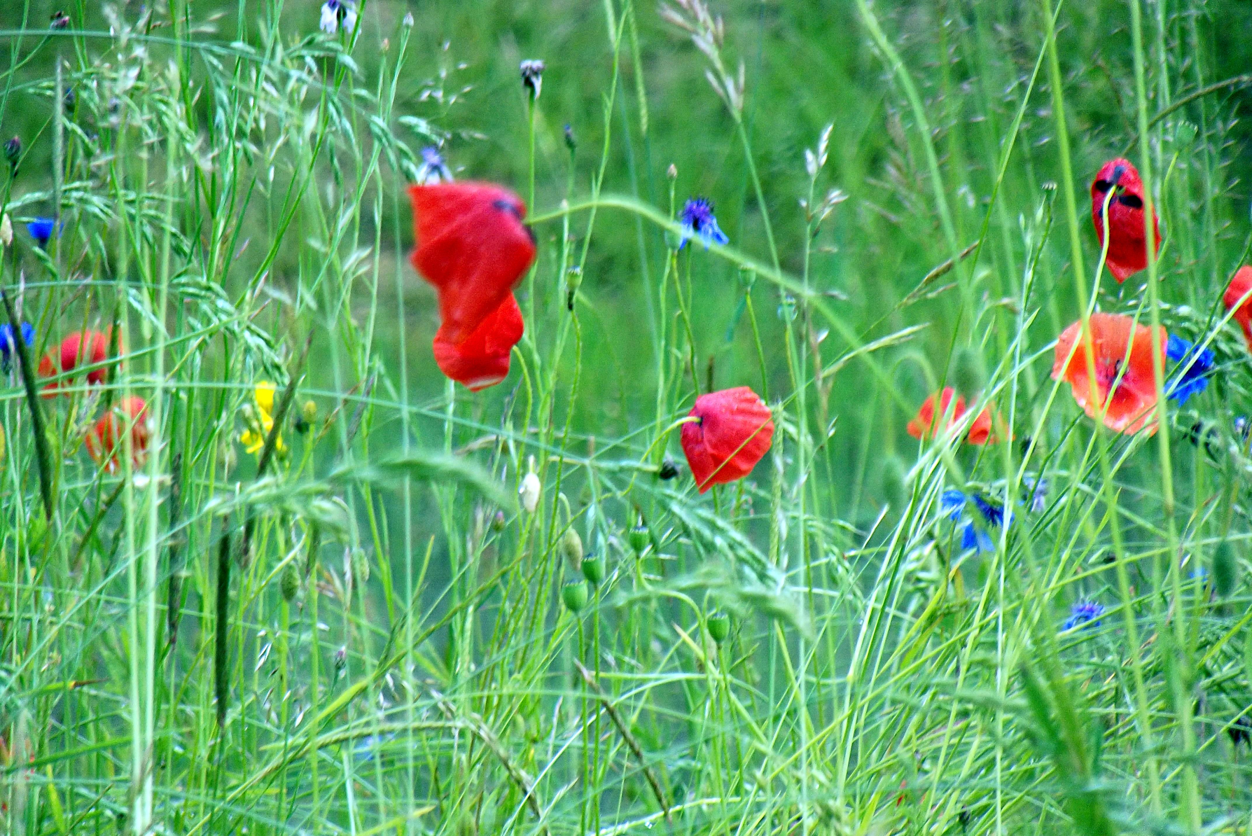 Blumenwiese_8